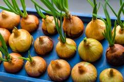 Το νέο κρεμμύδι αυξάνεται σε μια μπλε στάση Στοκ Εικόνες
