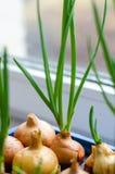 Το νέο κρεμμύδι αυξάνεται σε μια μπλε στάση Στοκ εικόνα με δικαίωμα ελεύθερης χρήσης