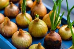 Το νέο κρεμμύδι αυξάνεται σε μια μπλε στάση Στοκ Φωτογραφίες