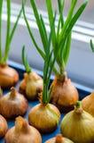Το νέο κρεμμύδι αυξάνεται σε μια μπλε στάση Στοκ φωτογραφία με δικαίωμα ελεύθερης χρήσης