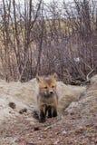 Το νέο κόκκινο κουτάβι αλεπούδων εξερευνά το εξωτερικό κρησφύγετο στοκ φωτογραφία με δικαίωμα ελεύθερης χρήσης