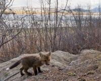 Το νέο κόκκινο κουτάβι αλεπούδων εξερευνά το εξωτερικό κρησφύγετο στοκ εικόνα με δικαίωμα ελεύθερης χρήσης