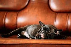 Το νέο μαύρο γαλλικό κουτάβι σκυλιών μπουλντόγκ κάθεται στον κόκκινο καναπέ εσωτερικό αστείος Στοκ εικόνες με δικαίωμα ελεύθερης χρήσης