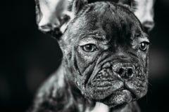 Το νέο μαύρο γαλλικό κουτάβι σκυλιών μπουλντόγκ με το άσπρο σημείο κάθεται στο κόκκινο Στοκ φωτογραφίες με δικαίωμα ελεύθερης χρήσης