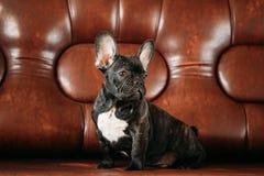 Το νέο μαύρο γαλλικό κουτάβι σκυλιών μπουλντόγκ με το άσπρο σημείο κάθεται στο κόκκινο Στοκ Φωτογραφίες
