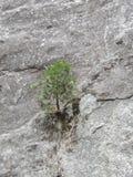 Το νέο μικρό δέντρο αποφάσισε να προσκολληθεί σε έναν απότομο βράχο και να επιζήσει στοκ εικόνα
