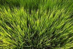 Το νέο ρύζι αυξάνεται στους τομείς ορυζώνα Στοκ φωτογραφία με δικαίωμα ελεύθερης χρήσης