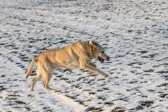 Το νέο σκυλί του Λαμπραντόρ απολαμβάνει το χιονισμένο τομέα στοκ εικόνα