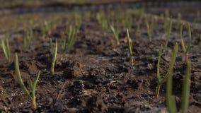 Το νέο σκόρδο αυξάνεται σε ένα κρεβάτι στον κήπο Μύγες καμερών κινηματογραφήσεων σε πρώτο πλάνο πέρα από το νέο σκόρδο στον κήπο  απόθεμα βίντεο
