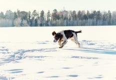 Το νέο σπανιέλ αλτών τρέχει στον τομέα χιονιού Στοκ φωτογραφία με δικαίωμα ελεύθερης χρήσης