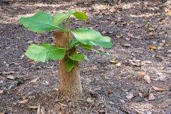 Το νέο σπορόφυτο δέντρων αυξάνεται από το κολόβωμα, την έννοια της ελπίδας και την αναγέννηση Στοκ φωτογραφίες με δικαίωμα ελεύθερης χρήσης