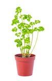 Το νέο σπορόφυτο των φρέσκων πράσινων φύλλων μαϊντανού στο δοχείο λουλουδιών είναι είναι Στοκ φωτογραφία με δικαίωμα ελεύθερης χρήσης