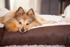 Το νέο τσοπανόσκυλο Shetland βρίσκεται σε ένα καλάθι Στοκ Εικόνες