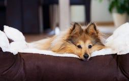 Το νέο τσοπανόσκυλο Shetland βρίσκεται στο καλάθι Στοκ Φωτογραφία
