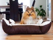 Το νέο τσοπανόσκυλο Shetland κάθεται στο καλάθι Στοκ Εικόνα