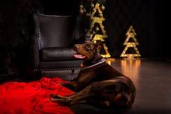 το νέο χαριτωμένο ευτυχές doberman σκυλί χαμόγελου βάζει το μαύρο χριστουγεννιάτικο δέντρο beiside στοκ φωτογραφία