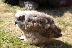 το νεανικό άδυτο θηραμάτων μπούφων κεντρικός πουλιών που φάνηκε ήταν Στοκ Φωτογραφίες