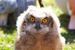 το νεανικό άδυτο θηραμάτων μπούφων κεντρικός πουλιών που φάνηκε ήταν στοκ φωτογραφία με δικαίωμα ελεύθερης χρήσης