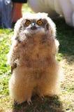 το νεανικό άδυτο θηραμάτων μπούφων κεντρικός πουλιών που φάνηκε ήταν στοκ εικόνες με δικαίωμα ελεύθερης χρήσης