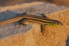 Το νεανικό βαλκανικό πράσινο trilineata Lacerta σαυρών είναι ένα είδος σαύρας στην οικογένεια Lacertidae στο ηλιοβασίλεμα Στοκ Εικόνες