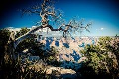 Το νεκρό δέντρο αγνοεί το μεγάλο φαράγγι Στοκ φωτογραφία με δικαίωμα ελεύθερης χρήσης