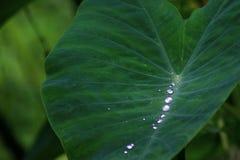 Το νερό επάνω από τα φύλλα λάμπει όπως ένα μαργαριτάρι στοκ φωτογραφίες