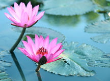 Το νερό ομορφιάς ανθίζει lilly Ρόδινος λωτός Στοκ φωτογραφία με δικαίωμα ελεύθερης χρήσης