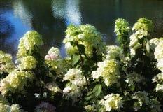 το νερό hydrangea ανθίζει την αντανάκλαση φωτός του ήλιου Στοκ Φωτογραφίες