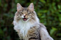 Το νορβηγικό δασικό αρσενικό γατών είναι μάτι κλεισίματος του ματιού στοκ φωτογραφία