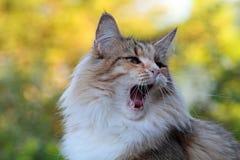 Το νορβηγικό δασικό θηλυκό γατών είναι κουρασμένο και χασμουρητά Στοκ εικόνες με δικαίωμα ελεύθερης χρήσης
