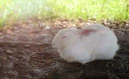 Το νυσταλέο άσπρο κουνέλι καθορίζει στο έδαφος στοκ εικόνα