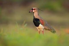 Το νότιο αργυροπούλι, chilensis Vanellus, ποτίζει το εξωτικό πουλί κατά τη διάρκεια της ανατολής, Pantanal, Βραζιλία Στοκ φωτογραφίες με δικαίωμα ελεύθερης χρήσης