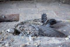 Το ξέσπασμα του πουλιού - περιστέρι Carrion - περιστέρι θανάτου πέθανε Στοκ Φωτογραφία