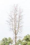 Το ξηρό δέντρο πτώσης που στέκεται μόνο και άνω της πράσινης δασικής ΤΣΕ Στοκ φωτογραφία με δικαίωμα ελεύθερης χρήσης