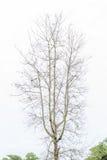 Το ξηρό δέντρο πτώσης που στέκεται μόνο και άνω της πράσινης δασικής ΤΣΕ Στοκ εικόνα με δικαίωμα ελεύθερης χρήσης