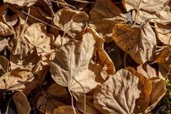 Το ξηρό δέντρο bodhi βγάζει φύλλα στο έδαφος Στοκ Φωτογραφία