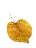 Το ξηρό κίτρινο φύλλο φθινοπώρου το δέντρο (1) Στοκ εικόνες με δικαίωμα ελεύθερης χρήσης