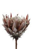 το ξηρό λουλούδι απομόνω&sigm στοκ φωτογραφία