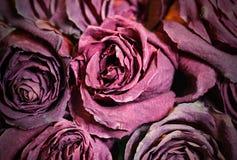 Το ξηρό νεκρό κόκκινο λουλουδιών αυξήθηκε Βλαστημένα τριαντάφυλλα Στοκ Εικόνες