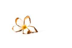 το ξηρό λουλούδι Plumeria που απομονώνεται στο άσπρο υπόβαθρο Στοκ φωτογραφία με δικαίωμα ελεύθερης χρήσης