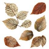Το ξηρό φύλλο πτώσης του σμέουρου, φύλλα σμέουρων στοιχείων σχεδιάζει επάνω Στοκ εικόνες με δικαίωμα ελεύθερης χρήσης