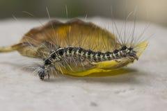 Το ξυπνώντας Caterpillar Στοκ Εικόνες