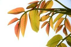 Το ξύλο καρυδιάς βγάζει φύλλα Στοκ Φωτογραφίες
