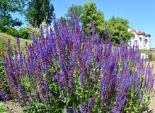 Το λογικό δασικό Salvia nemorosa Λ άνθησης , Βαθμός Ostfriesland στοκ εικόνα