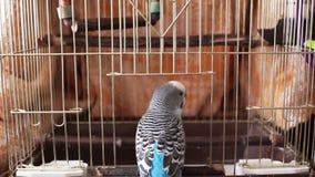 Το οικιακό κατοικίδιο ζώο, μπλε budgerigar εισάγει το birdcage φιλμ μικρού μήκους