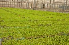 το ολλανδικό φυτό βρεφικών σταθμών σε δοχείο μικρός Στοκ Φωτογραφίες