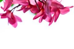 Το ομορφότερο λουλούδι plumeria που ανθίζει tree spa στο λουλούδι, pi Στοκ Εικόνες