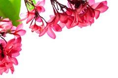 Το ομορφότερο λουλούδι plumeria που ανθίζει tree spa στο λουλούδι, pi Στοκ φωτογραφία με δικαίωμα ελεύθερης χρήσης