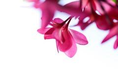 Το ομορφότερο λουλούδι plumeria που ανθίζει tree spa στο λουλούδι, pi Στοκ Εικόνα
