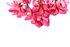 Το ομορφότερο λουλούδι plumeria που ανθίζει tree spa στο λουλούδι, pi Στοκ Φωτογραφία